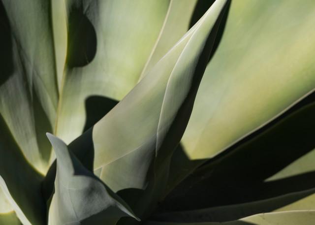 Agave Cactus, San Diego, California