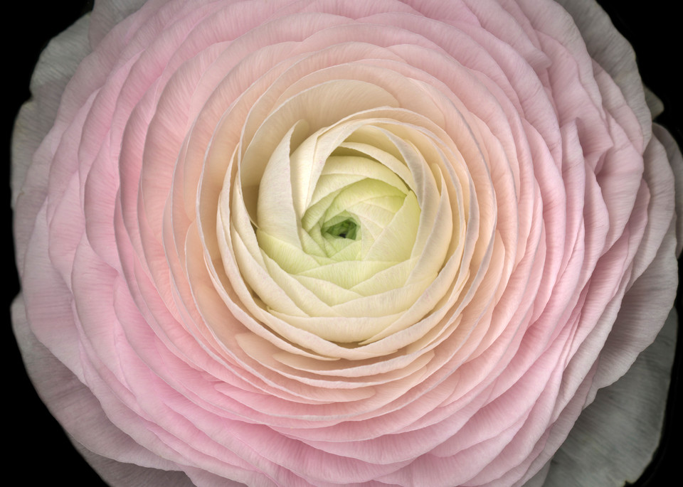 Pink Ranunculus Squared. Contemporary ultra high resolution wall art. A print of an original artwork by Mary Ahern Artist.