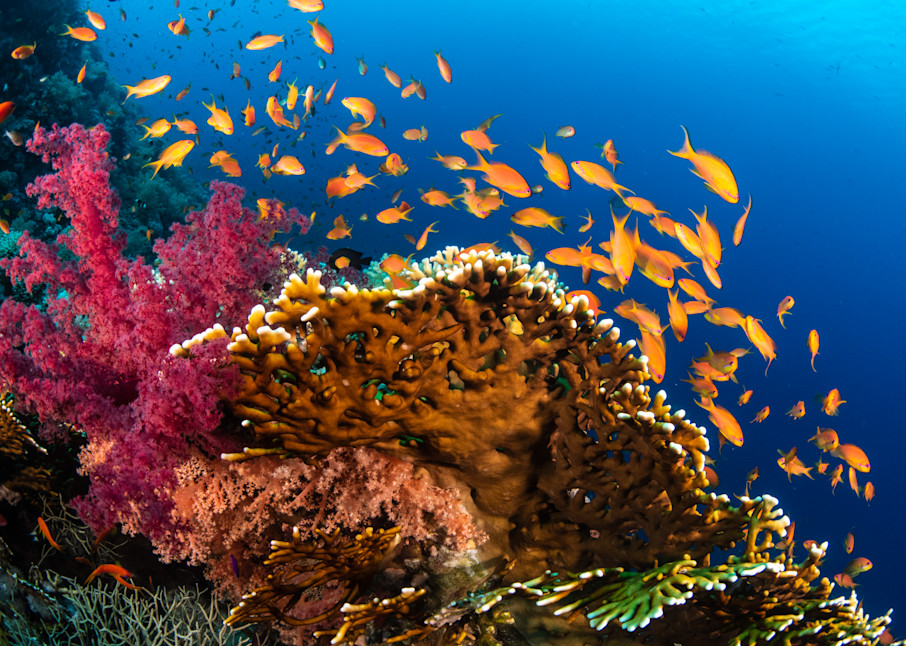 Anthias school over a coral reef in the Red Sea available as a fine art photograph for sale.