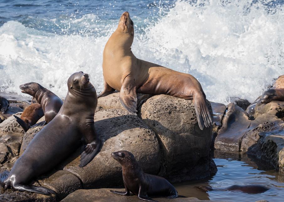 California Sea Lions, La Jolla, California