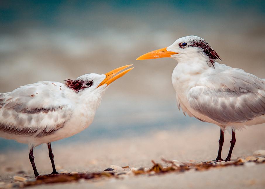 Kissing Gulls