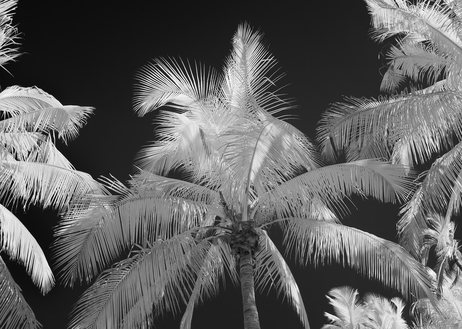 Classic Palm Trees