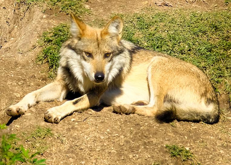 Lone Grey Wolf Resting on Hillside