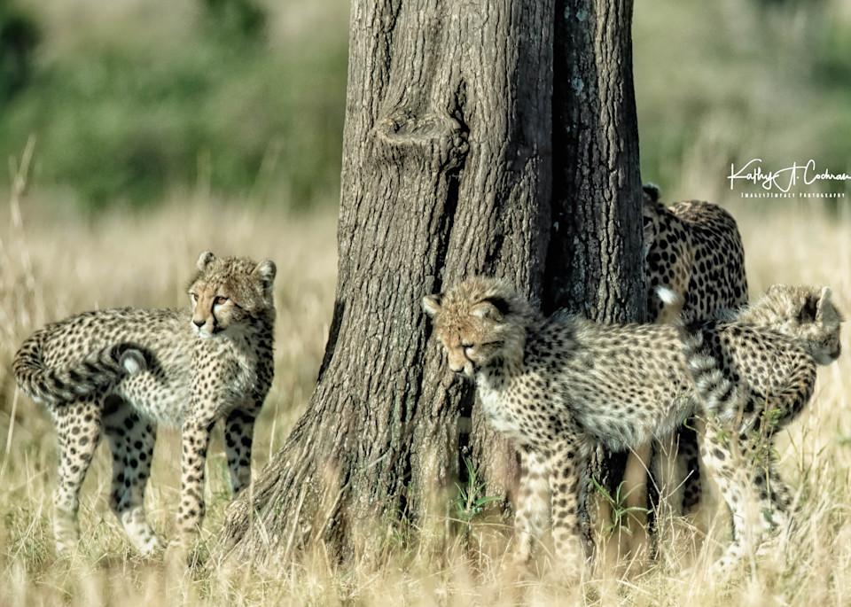 Kenya Cheetah 3955 Photography Art   Images2Impact