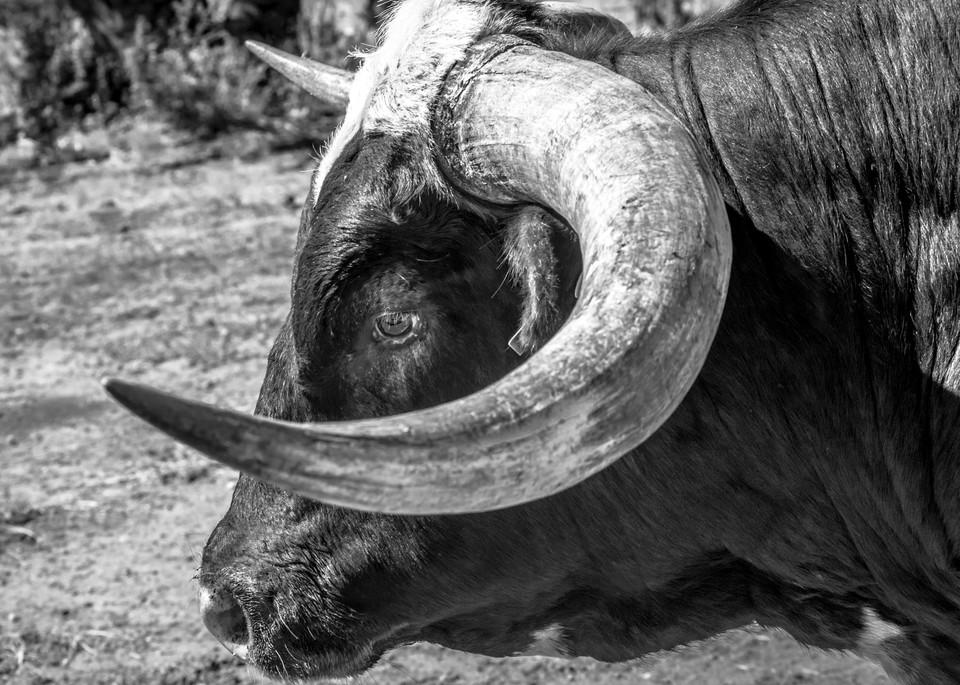 Hook 'em horns longhorn photography print