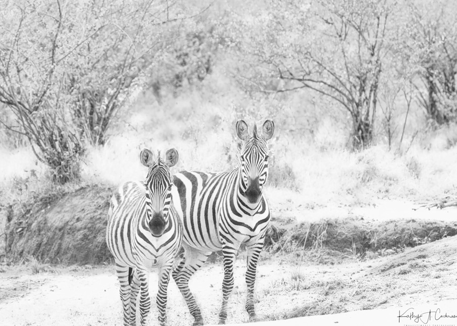 Zebra 0660 Photography Art | Images2Impact