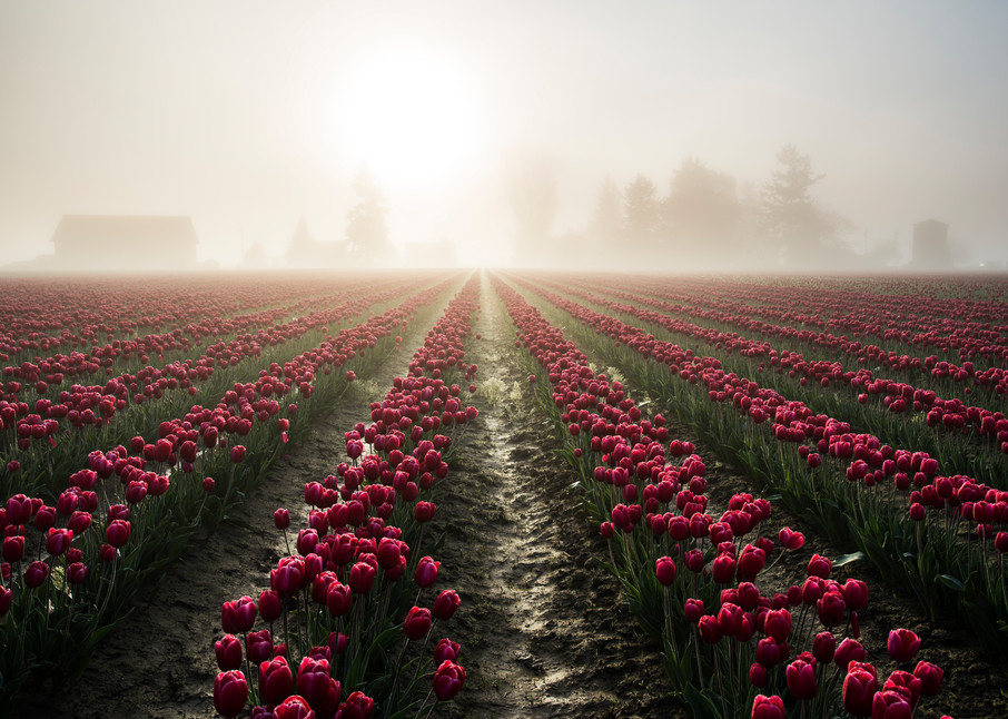 Tulips in foggy morning