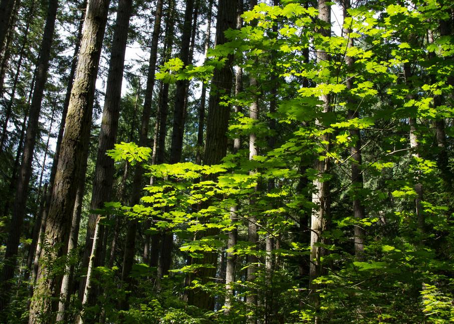 Bainbridge Forest Photography Art | Leiken Photography