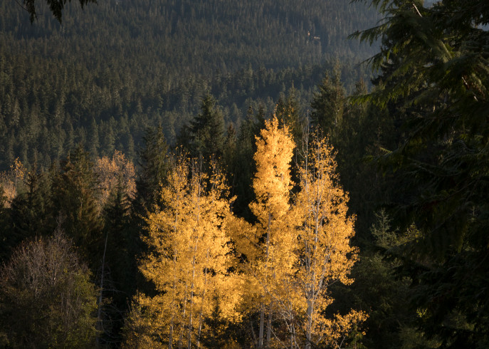 Whistler Trees Photography Art | Leiken Photography