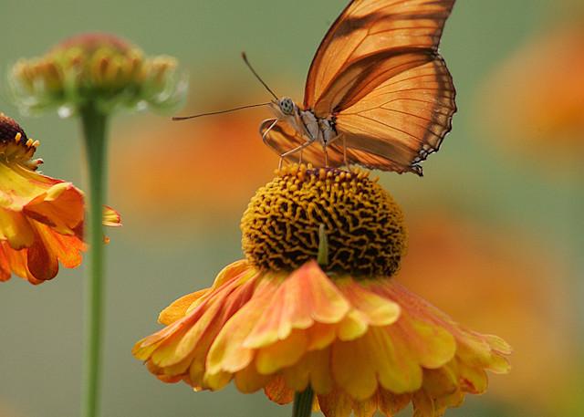 Butterfly Julia V Photo Print