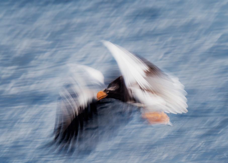 Steller eagle in motion