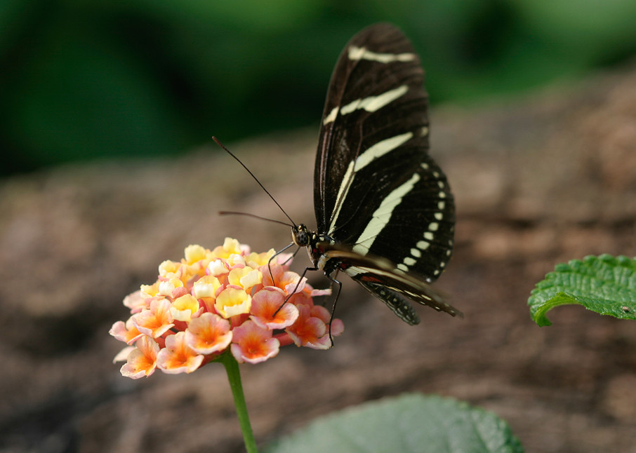 Butterfly - Black White Swallowtail Photo Print
