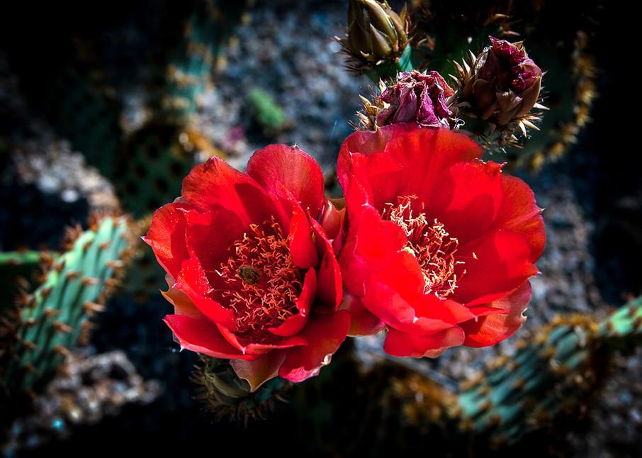 Cactus - Red Pair Photo Print