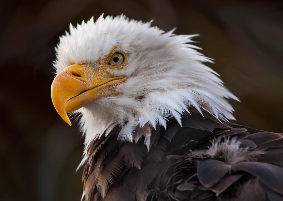 Angry Eagle Photo Print