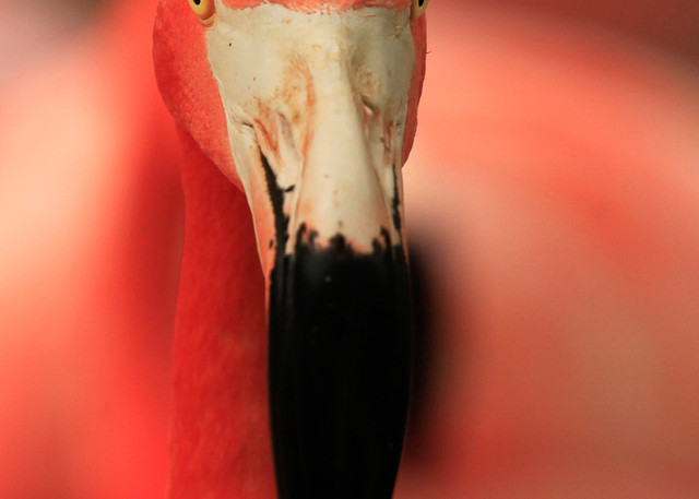 Flamingo - Bert Photo Print
