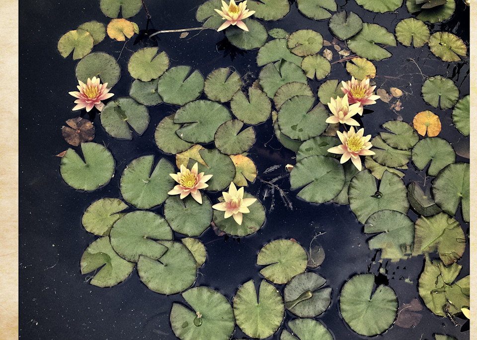 Lily Pond Photography Art | David Frank Photography