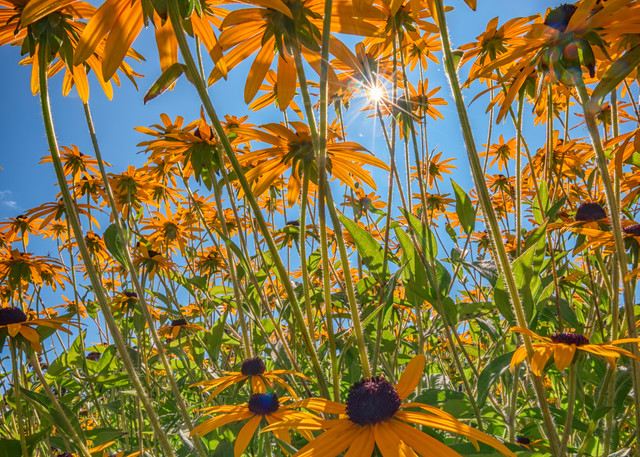 Black-Eyed Susans Bask In The Sun, by Rick Berk