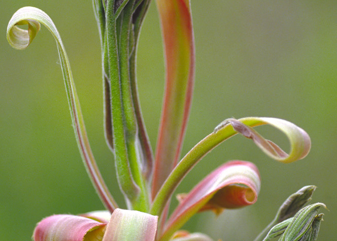 Shagbark Hickory Leaf and Flower Bud photograph for sale as Fine Art