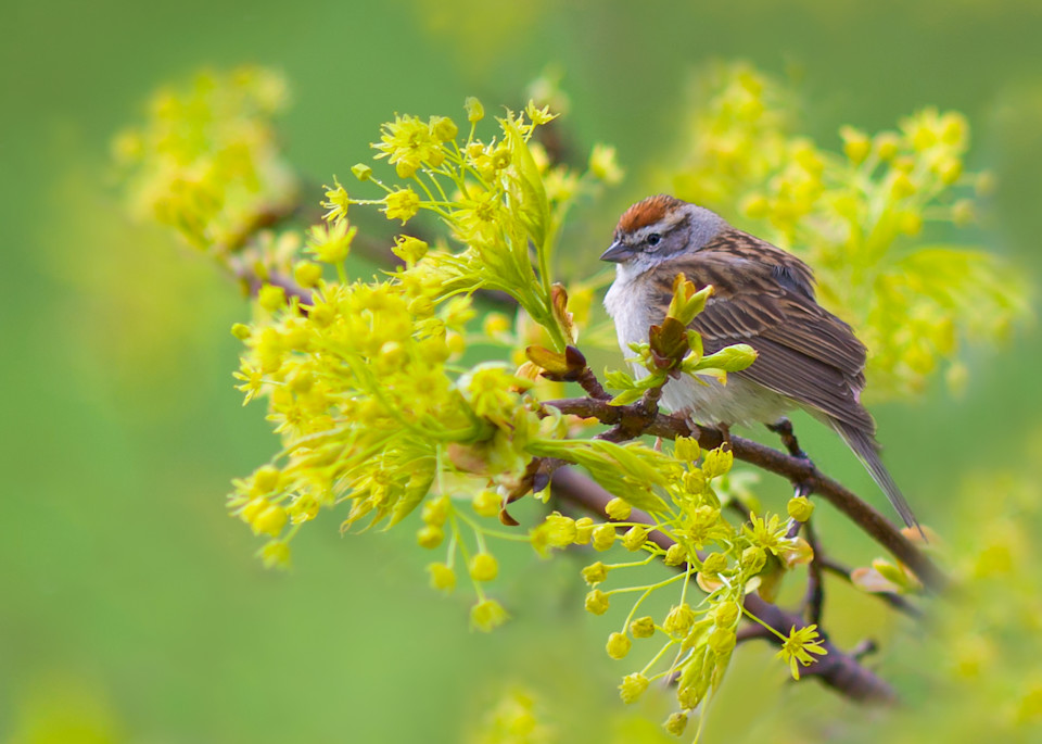 Chipping Sparrow digital painting photograph for sale as Fine Art.