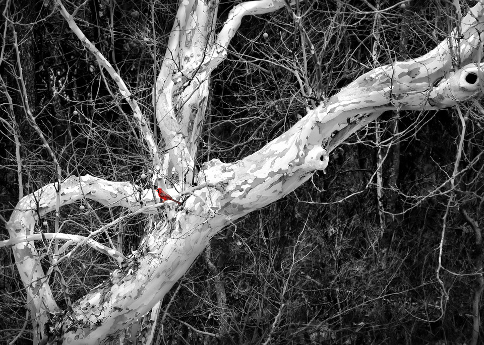 If You Love Trees - bw Collection   Cardinal and Winter's Bones - bw. A fine art, black and white  photograph  by noted photographer, David Zlotky