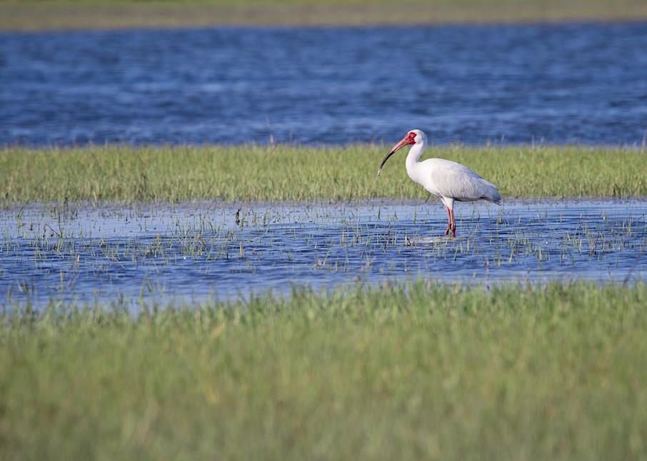 Marsh Ibis Art | Sierra Luna Photography