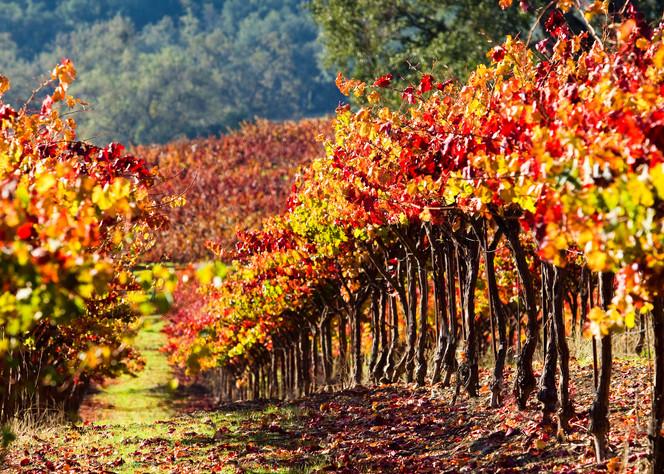 Harvest Vineyard by Josh Kimball Photography