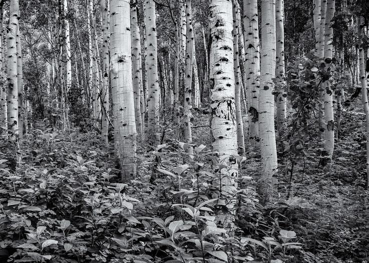 Aspens   Maroon Bell Wilderness Colorado Photography Art   Namaste Photography