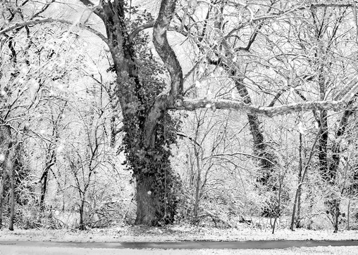 If You Love Trees Category - bw | Gaurdian -bw. This old oak tree has such great character. Black and white fine art photograph by nationally recognized artist, David Zlotky.