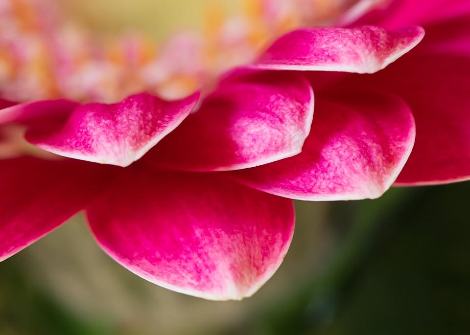 Fine art flower photography spring color pink splash