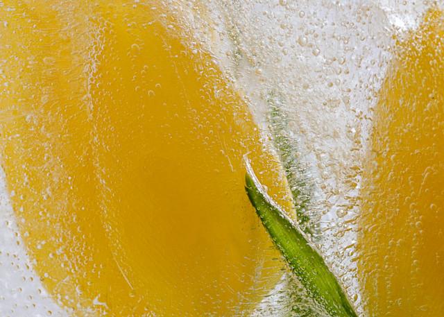 Fine art flower photograph yellow tulip bouquet frozen ice floral photography
