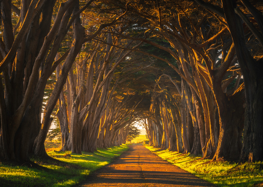 Cypress Tree Tunnel Fine Art Photography Print