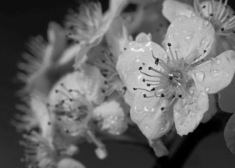Blossums   B W 2 Photography Art   Drone Video TX