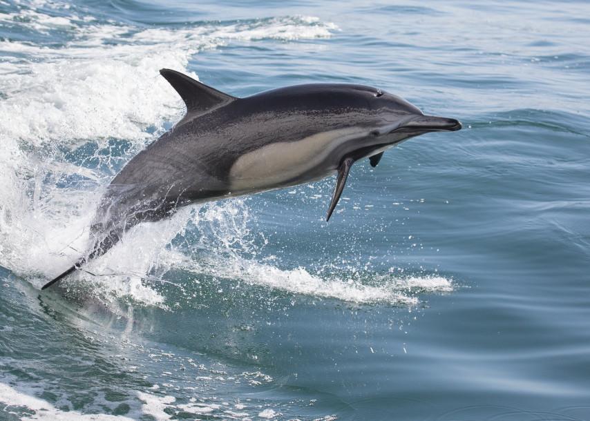 Dolphin Leap Ascending Photography Art | Leiken Photography