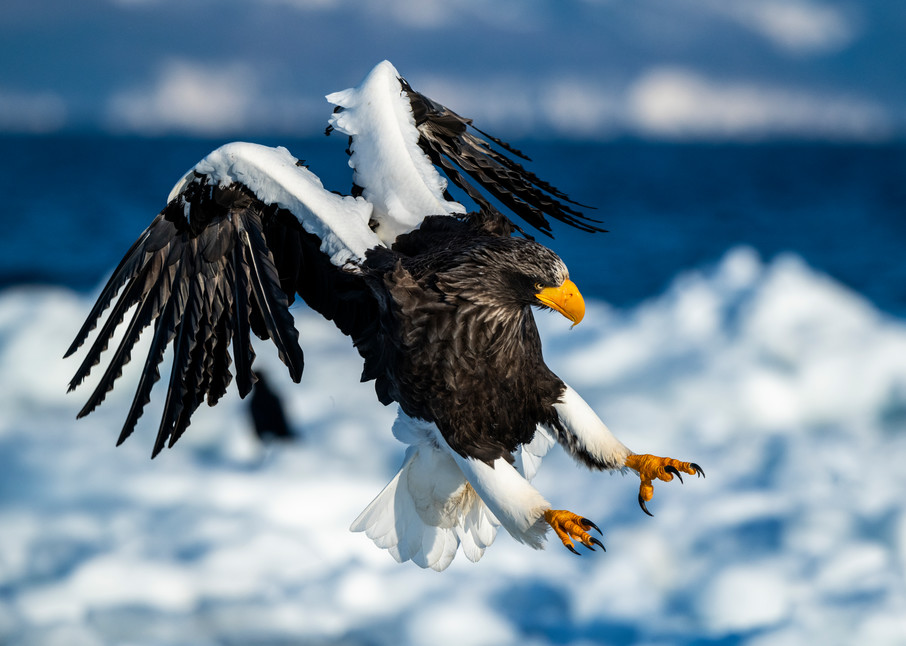 A stellar sea eagle about to land