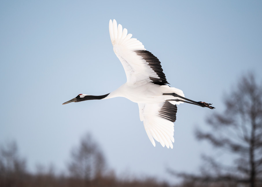 Red crowned crane solo flight