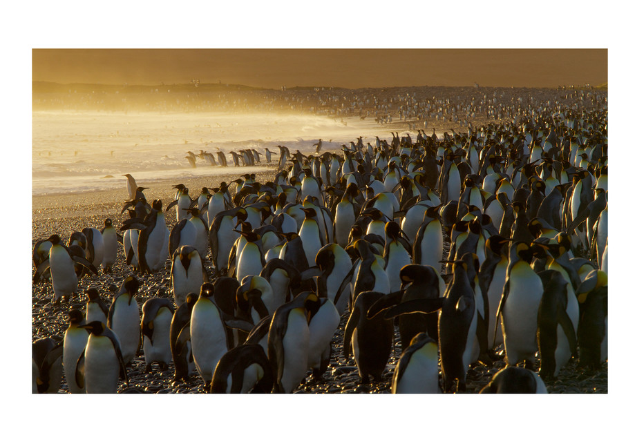 Photo of King Penguins in South Georgia.