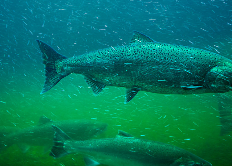 Salmon Upstream 42 Underwater