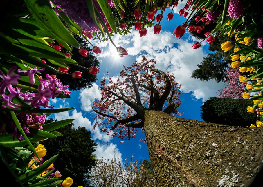 Tulips around a tree