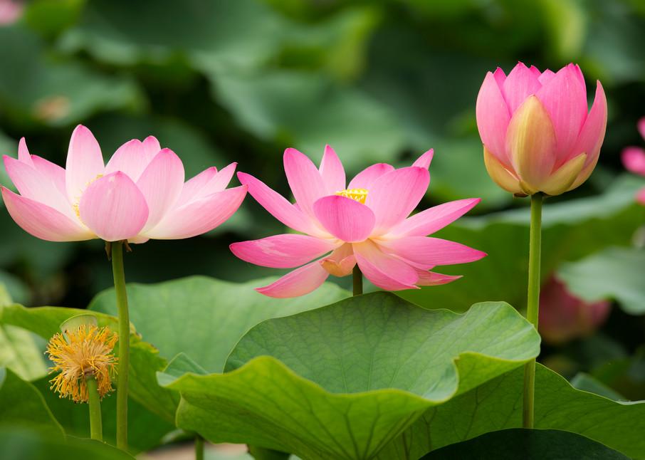 Oga lotus flowers in Chiba park