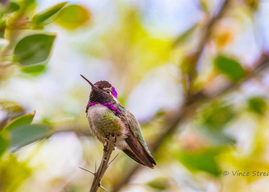 Male Costa's Hummingbird Photography Art | Streano-Havens