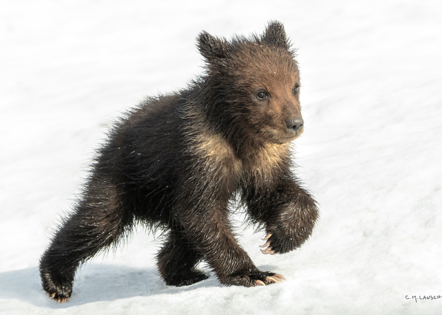 Grizzly Cub in Snow