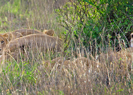 lion with cubs photo