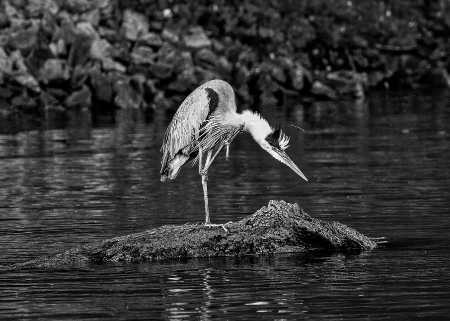 Scratching heron photography print