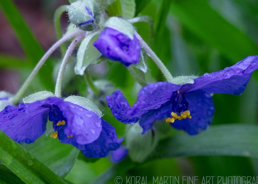 Spiderwort   Photograph 7252   Wildflower Photography   Koral Martin Fine Art Photography