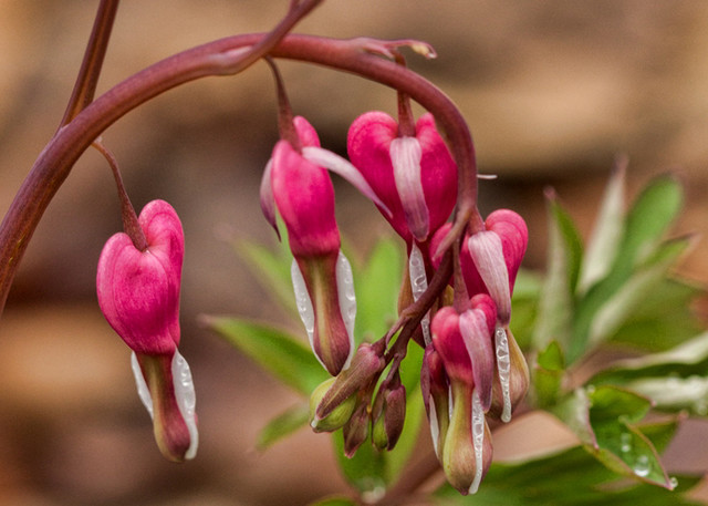 Bleeding Heart Photograph 8758 Crystal bridges  | Wildflower Photography | Koral Martin Fine Art Photography