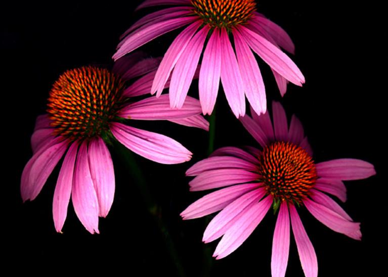 Coneflower  | Flower Photography | Koral Martin Fine Art Photography