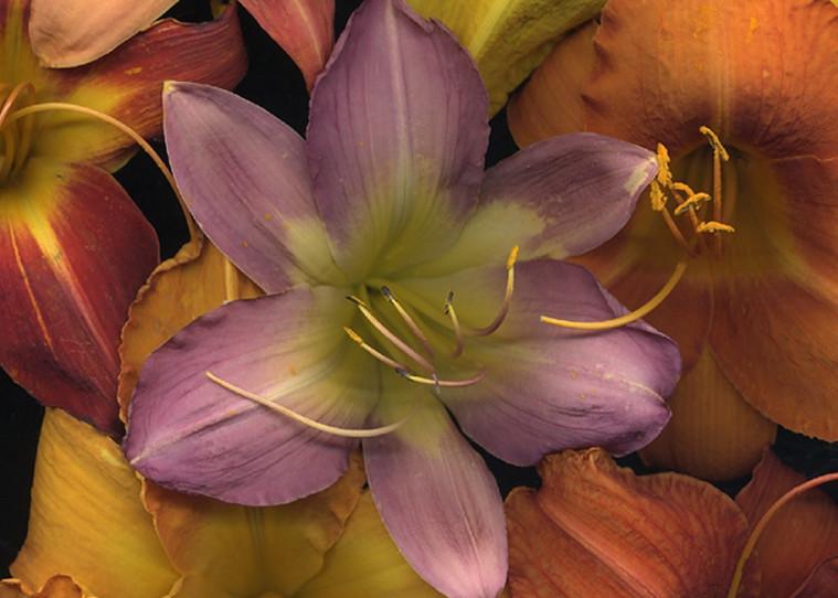 Daylily Medley    Flower Photography   Koral Martin Fine Art Photography