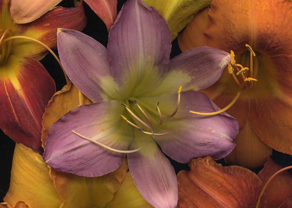 Daylily Medley square  | Flower Photography | Koral Martin Fine Art Photography
