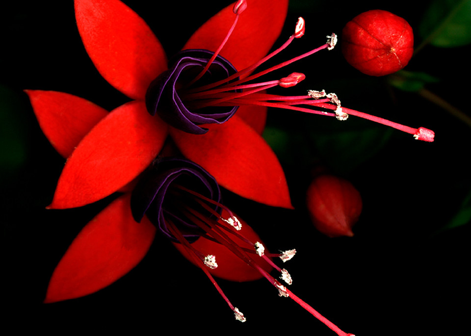 Fuchsia  | Flower Photography | Koral Martin Fine Art Photography