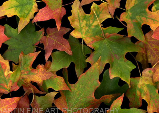 Leaves scattering  | Flower Photography | Koral Martin Fine Art Photography